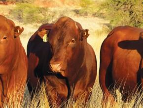 The Bonsmara Bull